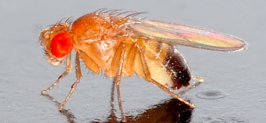 mosca-mutante-interferencia-de-rna